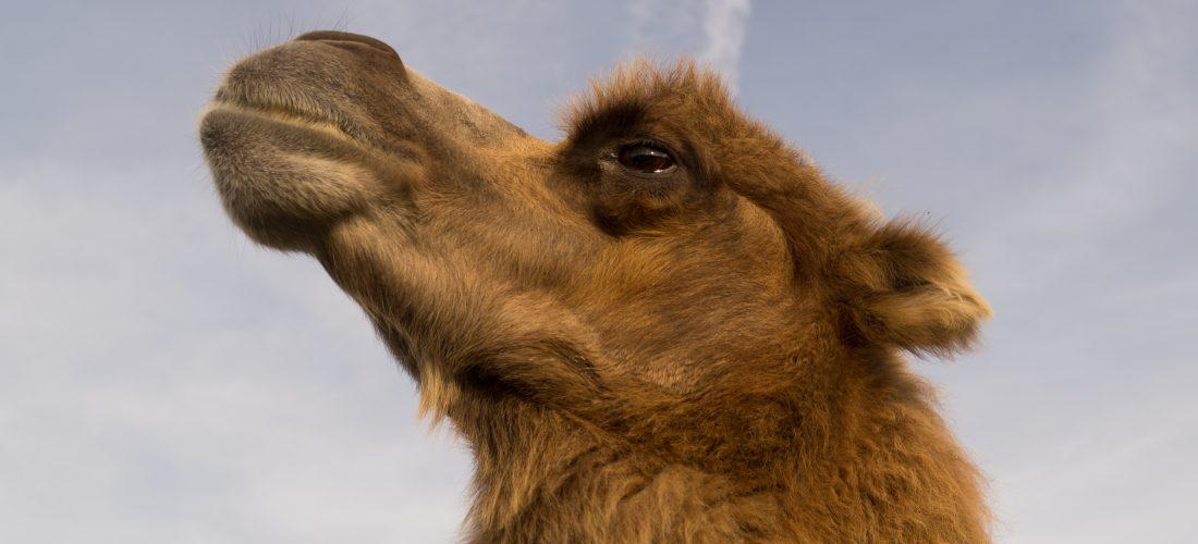 Camel hike
